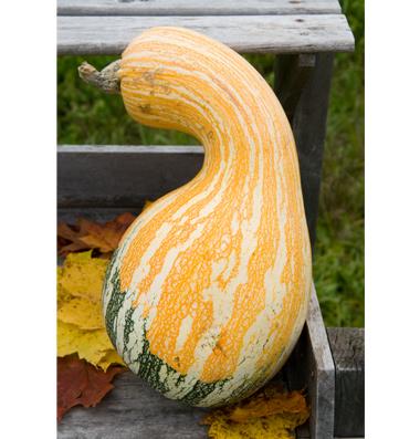 семена тыквы pumpkin Autumn Colors Cushaw seeds