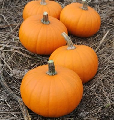 семена тыквы pumpkin Baby Bear seeds