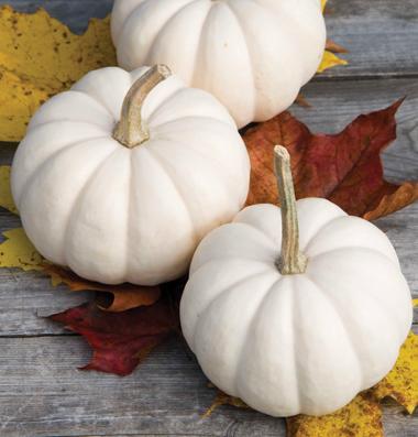 семена тыквы pumpkin Casperita seeds
