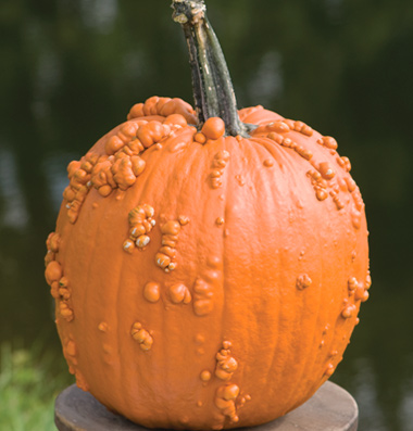 семена тыквы pumpkin Knuckle Headseeds