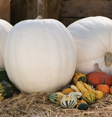 семена тыквы pumpkin Polar Bear seeds