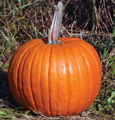 семена тыквы pumpkin Racer Plus PMR seeds