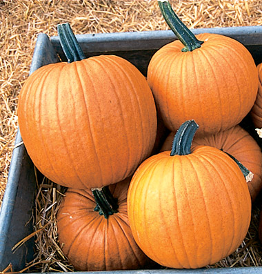 семена тыквы pumpkin Racer seeds