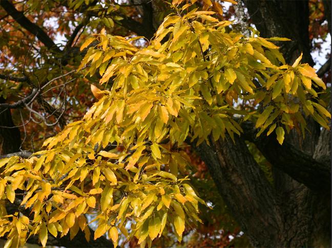 семена дуб острейший quercus acutissima seeds саженцы
