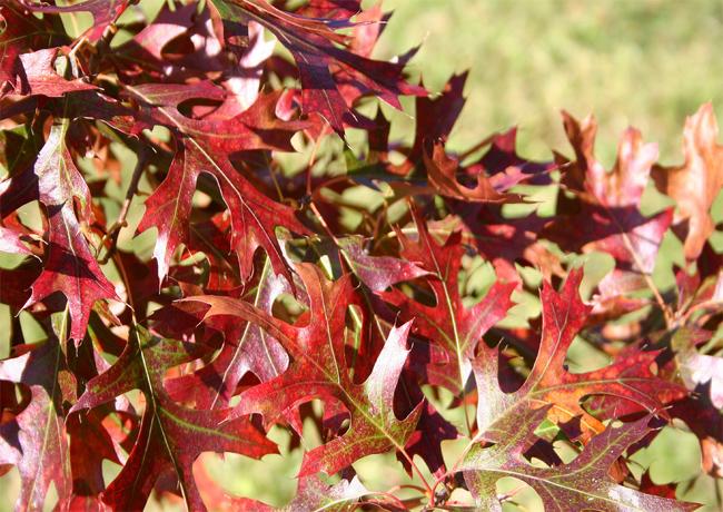 желуди дуб булавчатый quercus ellipsoidalis pin oak seeds саженцы