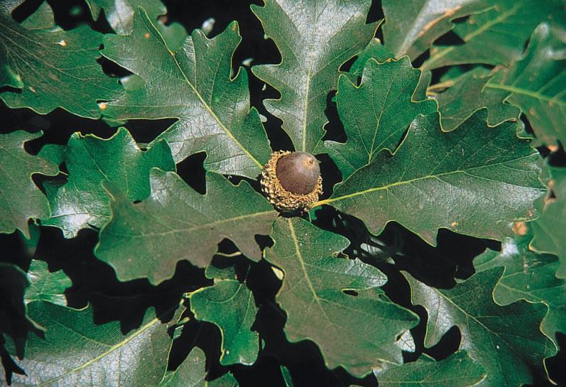 семена дуба крупноплодного продаю в москве
