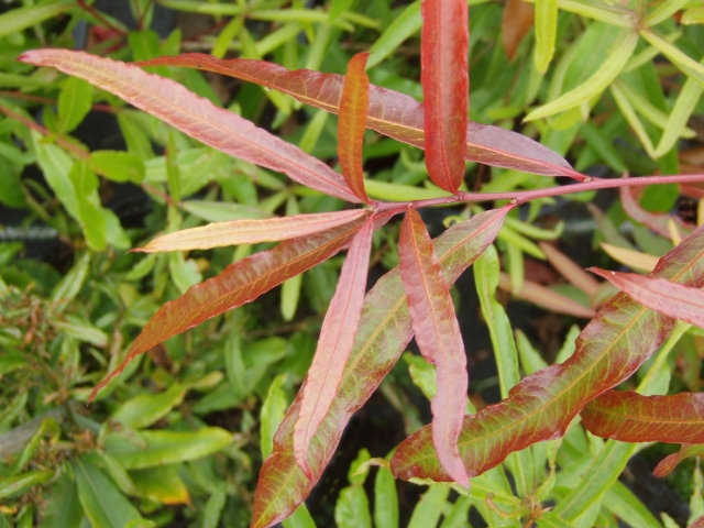 семена дуба иволистного продажа розница опт