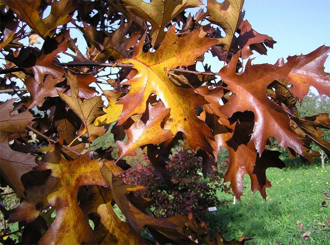 желуди дуб бархатистый черный шершавый шероховатый красильный quercus velutina black oak seeds саженцы
