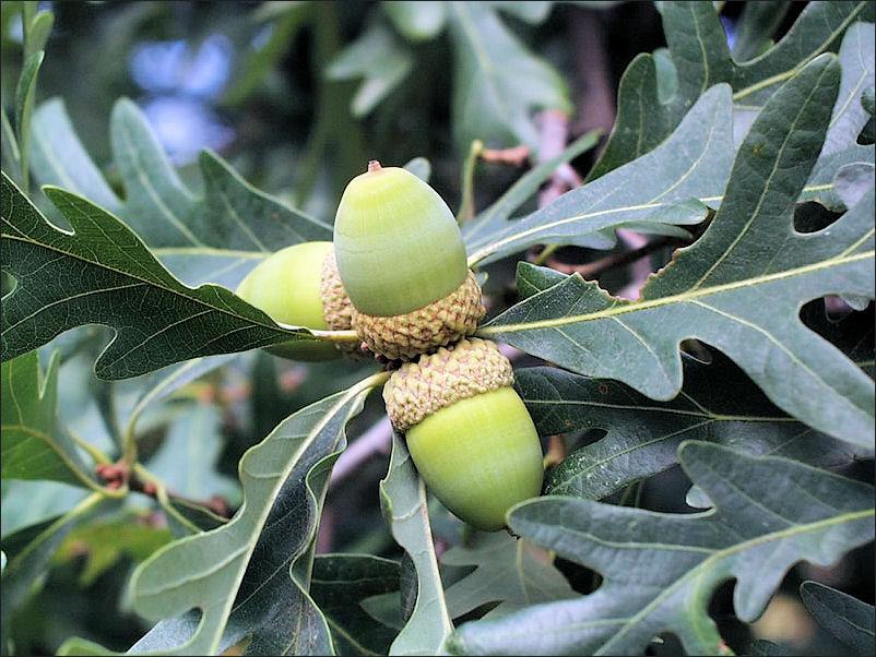 семена дуба белого продам