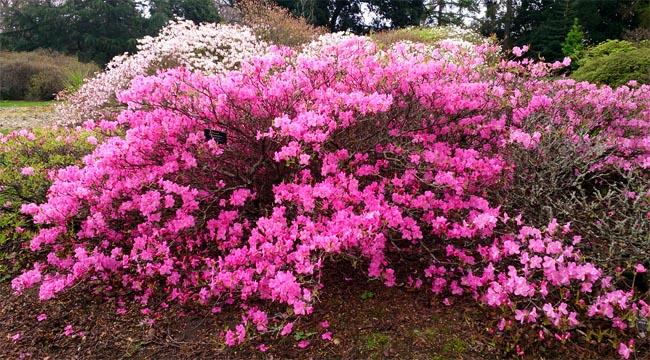 магазин семян рододендронов альбрехта rhododendron albrechtii лучший ассортимент семян декоративных растений для сада и парка