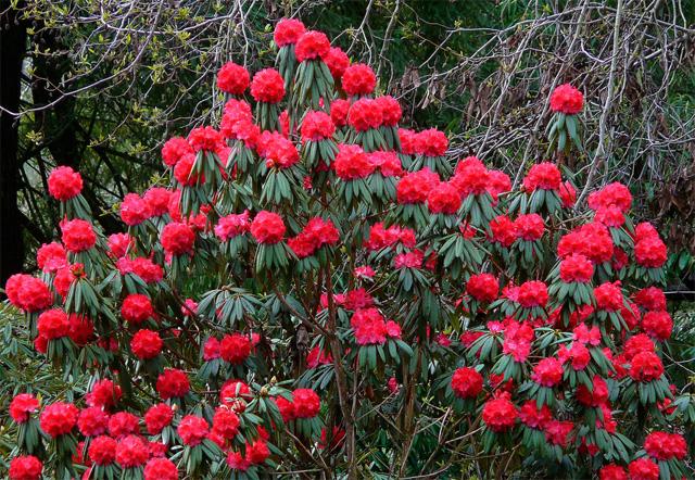 срочная распродажа семян рододендрон древесныйrhododendron arboreum совместная закупка семян в магазине акция