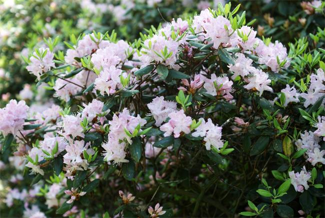 продам семена рододендрон каролинский rhododendron carolinianum seeds саженцы распродажа растений в магазине семян