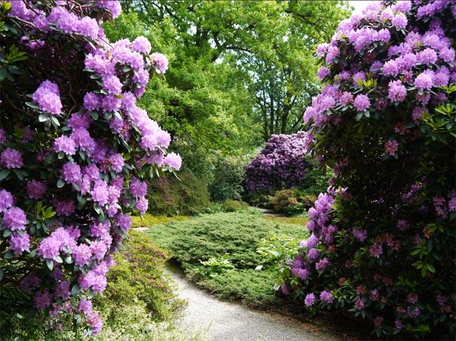 купить семена рододендрон катевбинский rhododendron catawbiense и другие виды вересковых декоративных растений для сада