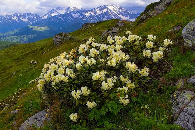 продам семена рододендрон кавказский rhododendron caucasicum огромный питомник растений в Москве рододендрарий