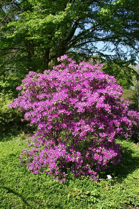 продажа семена рододендрон изящный rhododendron concinnum акция на саженцы рододендрона розница