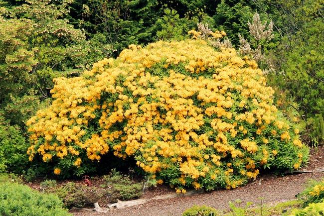 продажа большой аасортимент семня рододендрона желтый rhododendron luteum огромная коллекция саженцев рододендрона