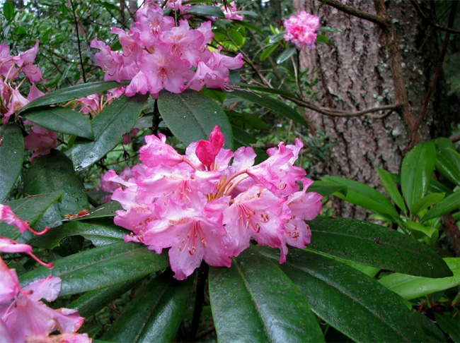 распродажа рододендронов акция rhododendron macrophyllum seeds саженцы