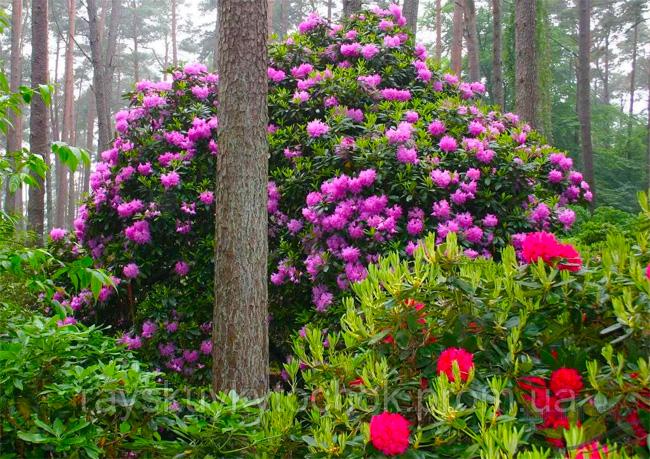 купить семена рододендрон розовый розеум rhododendron roseum seeds лучшие семена растений с высокой всхожестью