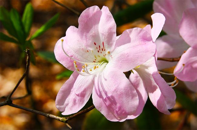 совместная закупка семян рододендрона шлиппенбаха rhododendron schlippenbachii в мазазине, организатор закупки саженцев