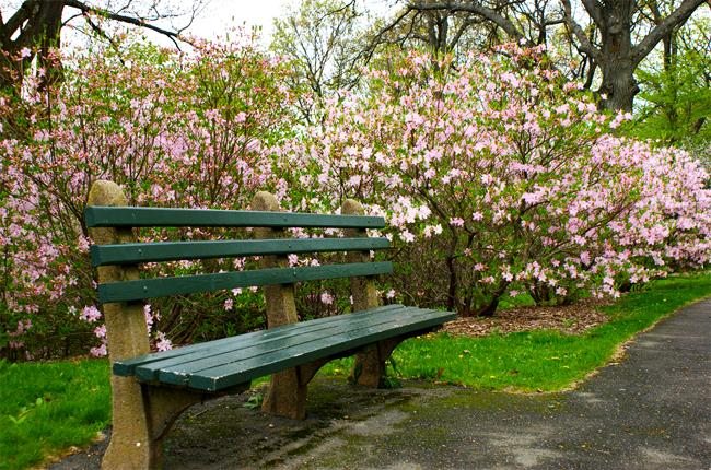 купить семена рододендрон шлиппенбаха rhododendron schlippenbachii в питомнике растений, продажа саженцев, пересылка по всему миру