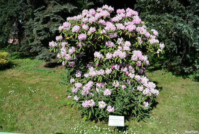коллекция рододенндронов продам rhododendron smirnowii seeds огромная коллекция семян
