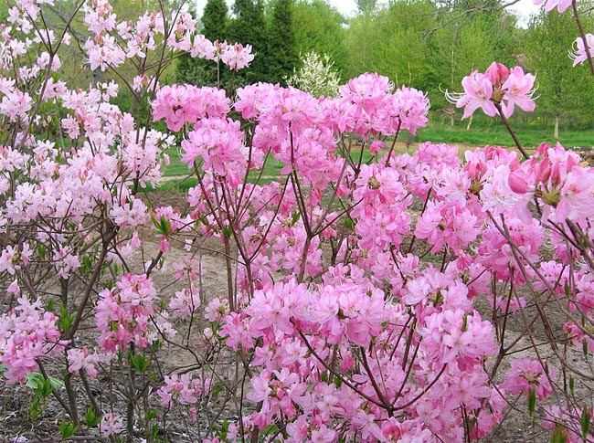 купить семена рододендронов вазея rhododendron vasei коллекция рододендронов саженцы