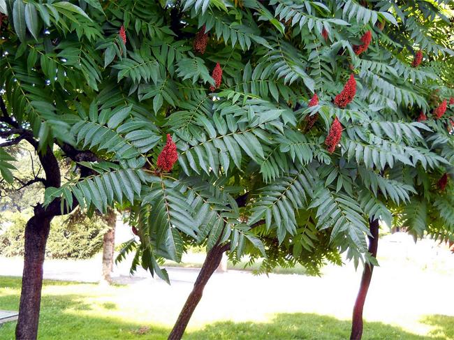 продажа семян уксусного дерева rhus typhina seeds распродажа декоративных растенний пересылка по России