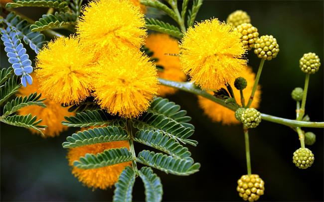 продам семена и саженцы акации acacia deabata seedling в интернет магазине семян Сидландия пересылка почтой по всему миру