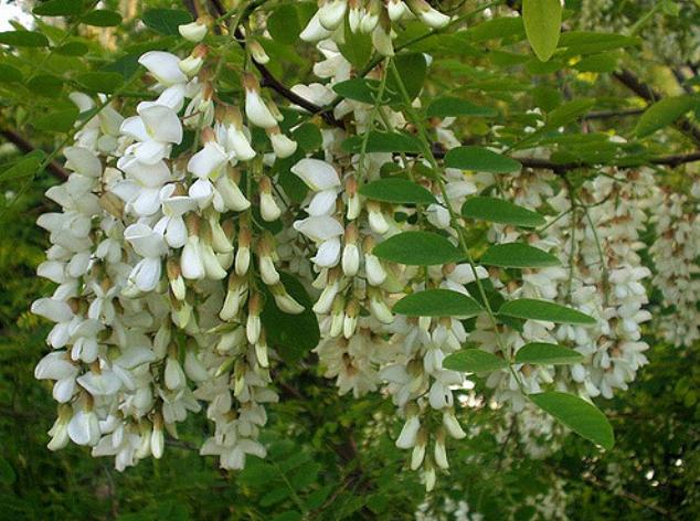 продажа семян робинии белой robinia pseudoacacia seedling саженцы акации