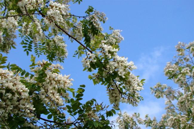 купить семена псевдоакации robinia pseudo acacia seeds распродажа семян декоративных деревьем и растений