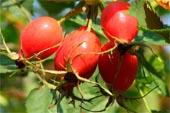 продам семена шиповник бесшипный крупноплодный rosa rugoza seeds в магазине Сидландия