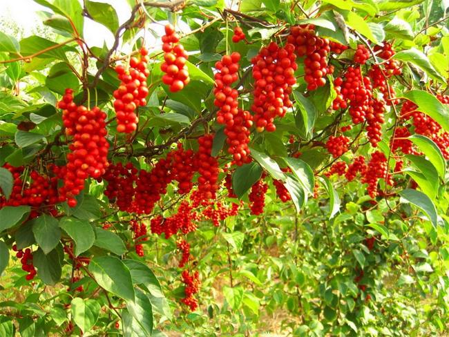 совместная закупка семян и саженцев декоративных растений лимонника китайского schisandra chinensis seeds
