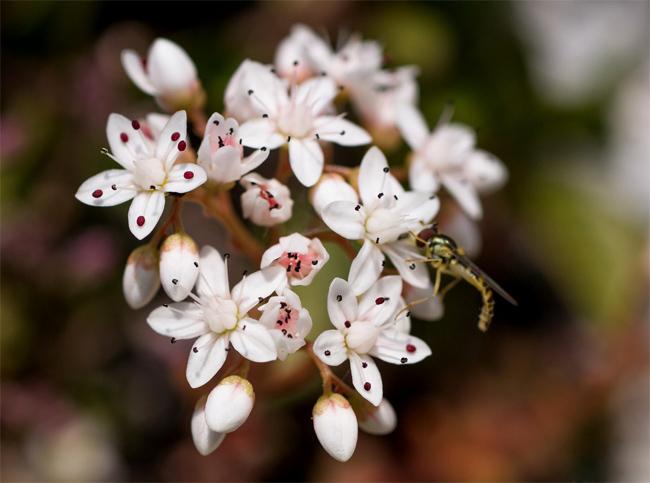 продажа семян очитка белого sedum album seeds