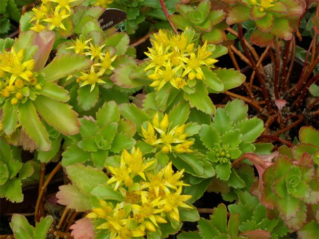 купить семена и саженцы очитка sedum ellacombianum seedling саженцы
