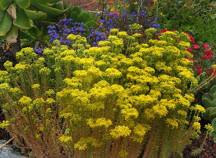 совместная закупка семян и очитка элегантного sedum forsterianum elegans seedling саженцы