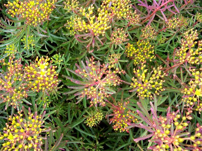 семена очитка миддендорфа Sedum middendorfianum striatum seeds сортовой посадочный материал