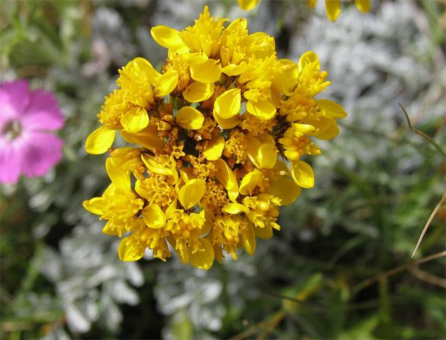 купить семена и саженцы очитка едкого sedum montanum seedling саженцы
