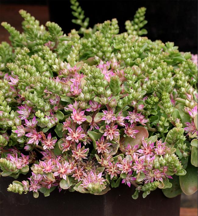 продам семена очитка туполистного sedum obtusifolium var listoniae seeds много сортов всегда в продаже