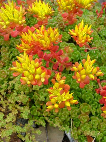 совместная закупка семян очиток sedum oreganum саженцы