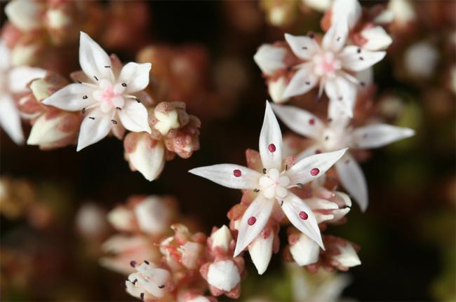 купить семена и саженцы очитка sedum rubens lizard seedling саженцы