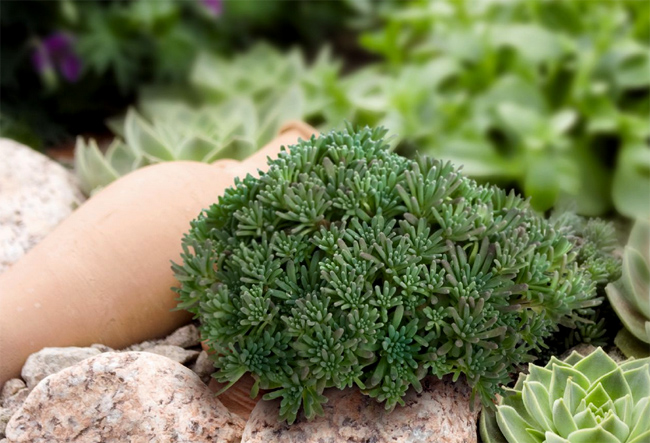 продажа семян очитка рубенса sedum rubens lizard seeds