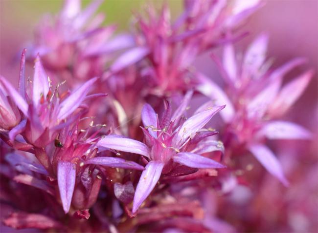 продам семена и саженцы очитка sedum coccineum seedling саженцы