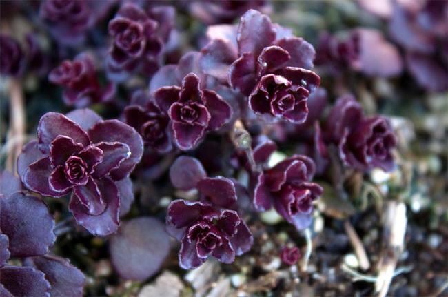 продажа семян очитка ложного вуду sedum spurium Voodoo seeds