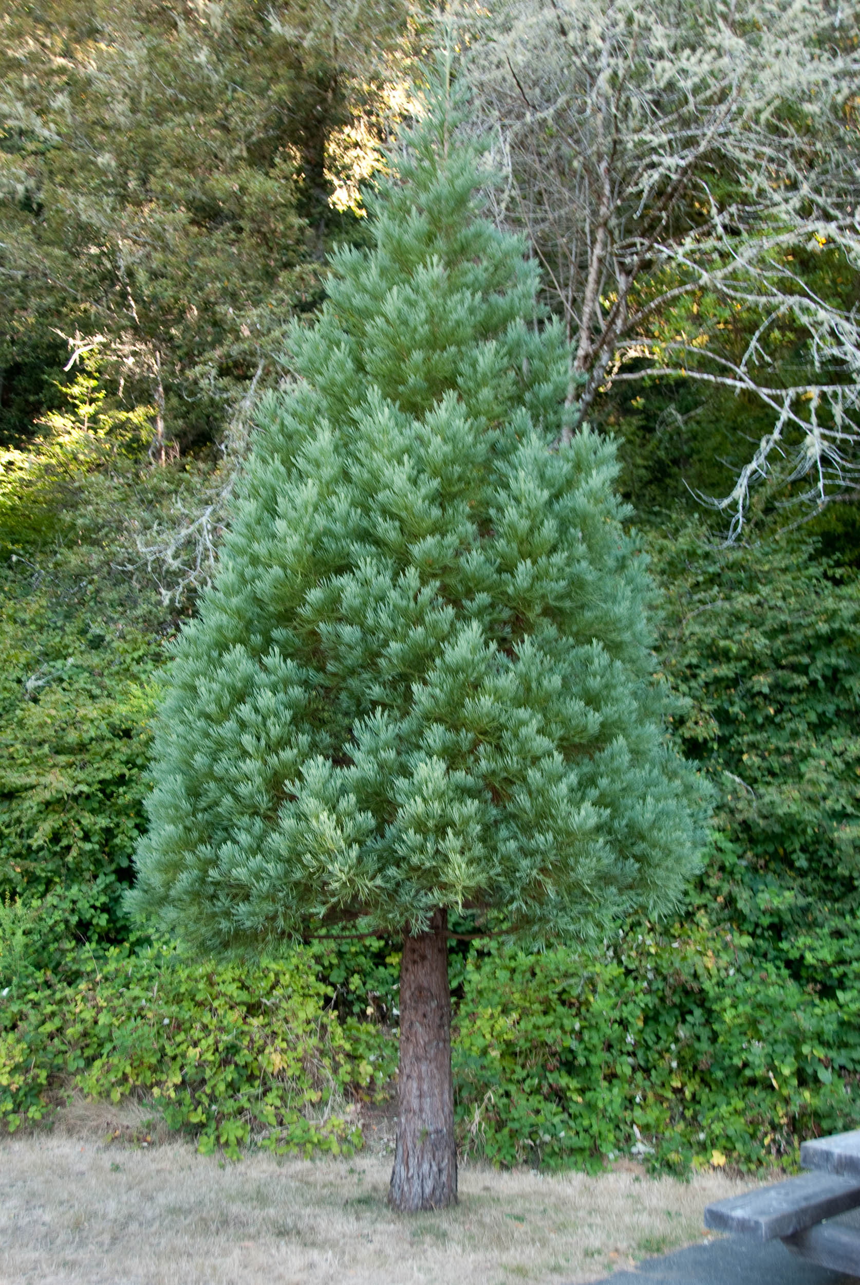 секвоядендрон гигантский sequoiadendron giganteum seeds семена купить