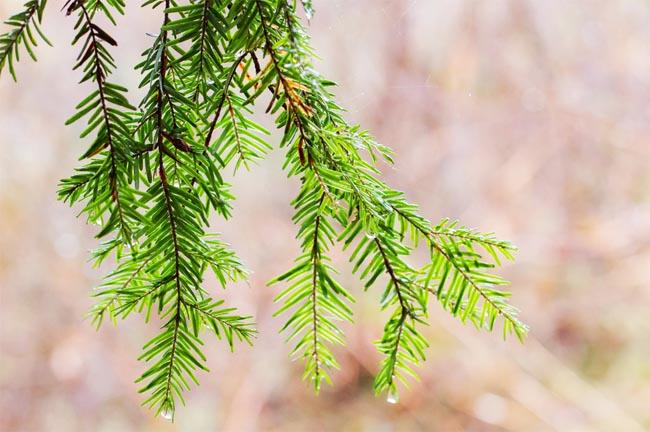 продам шишки секвои и секвоядендрона гигантеум купить sequoia sempervirens