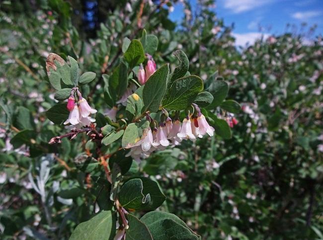 купить семена снежноягодник горолюбивый symphoricarpos Oreophilus в питомнике растений Москва
