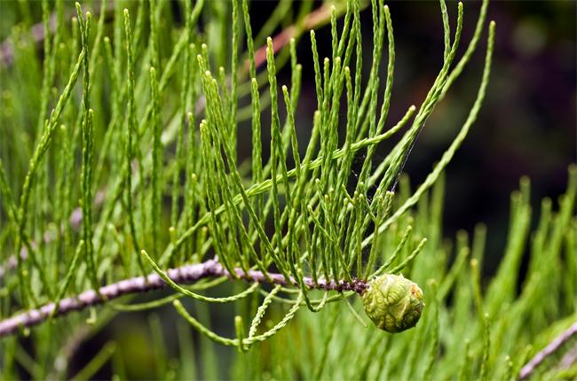 купить семена и саженцы таксодия восходящего кипариса водного taxodium ascendens