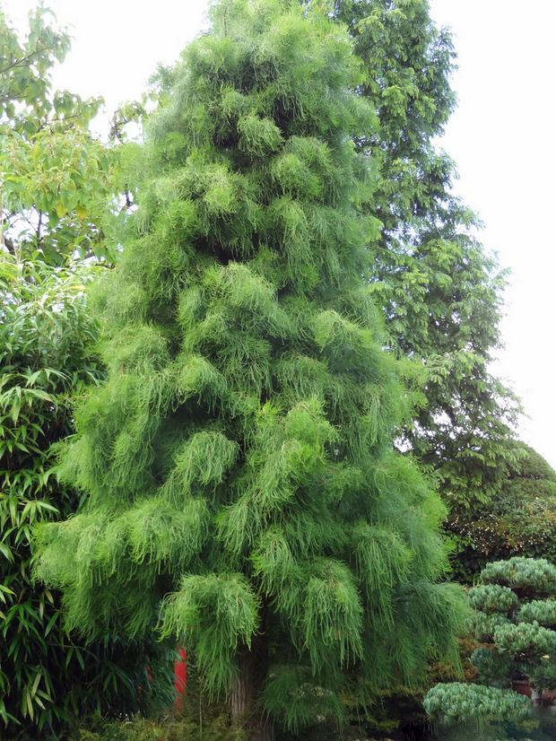 продам семена таксодия восходящего taxodium ascendens seedling