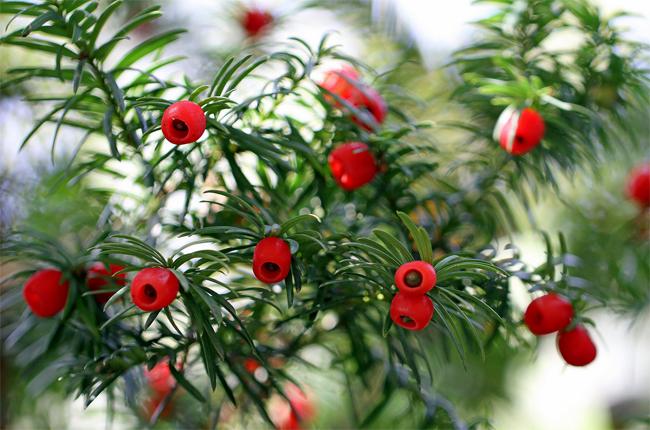 купить семена и саженцы тисса ягодного taxus baccata в питомнике декоративных растений