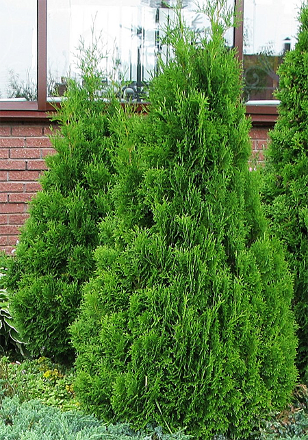 продажа семян туи западной холмструп thuja occidentalis holmstrum seeds саженцы туи в питомнике россии номер один